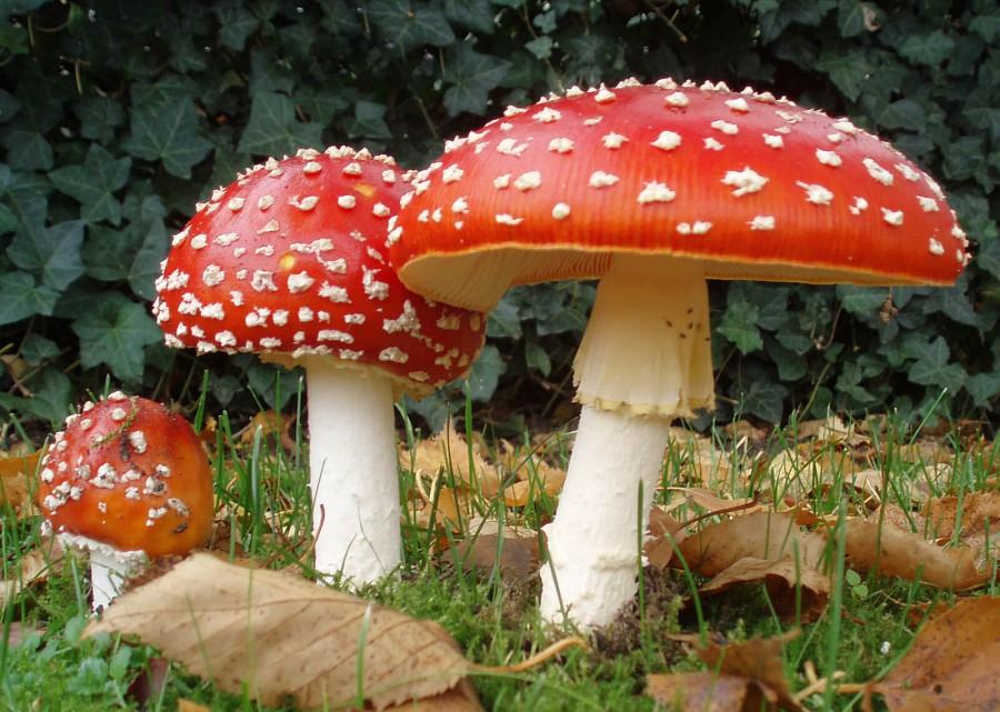 ¿Qué debemos saber a la hora de recolectar hongos?